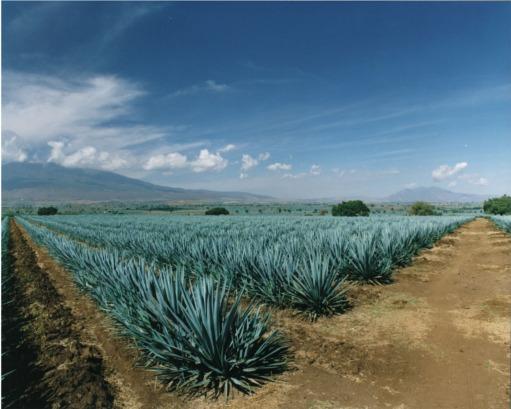 Plantacion de Agave